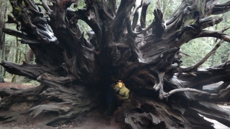 Redwood Tree Roots